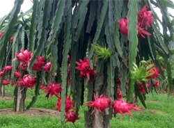 More than 30% of the area of Binh Thuan dragon fruit is produced according to VietGAP standards